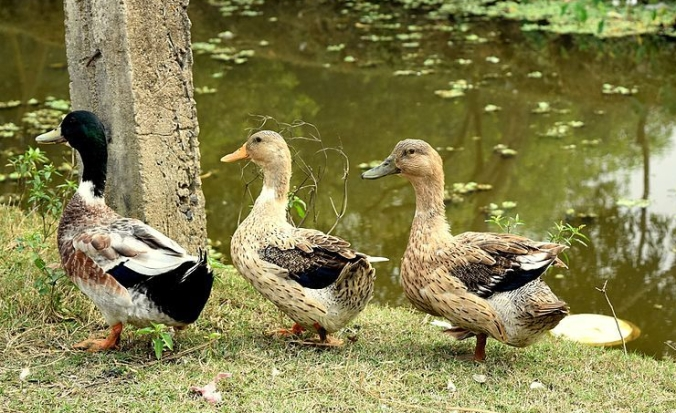 three_ducks.jpg
